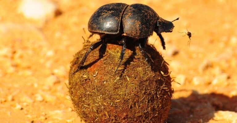Dung Beetle on dung, close-up.