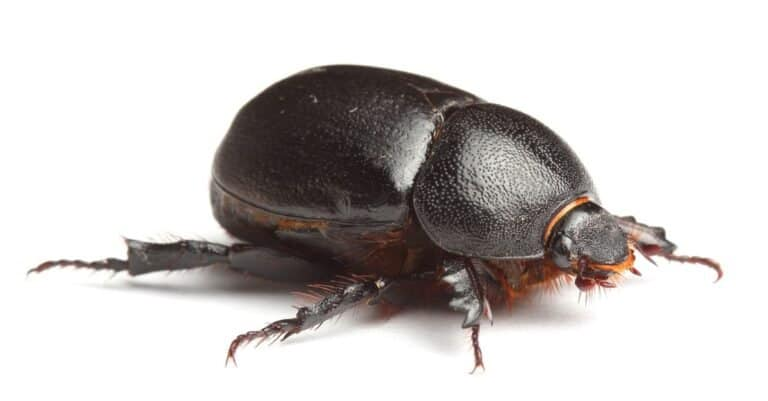 Earth-boring Dung beetle isolated on white background.