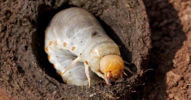 Dung beetle larva, Western High Plateau, Cameroon.