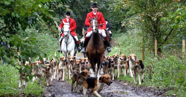 English Foxhounds Out Hunting