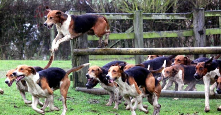 English Foxhounds Running