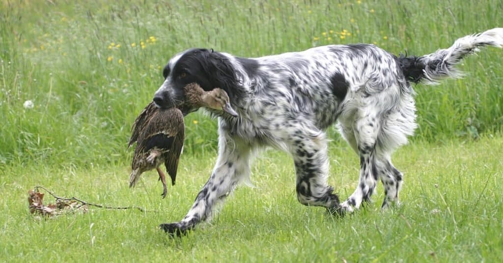 English Setter fetching during a hunt.