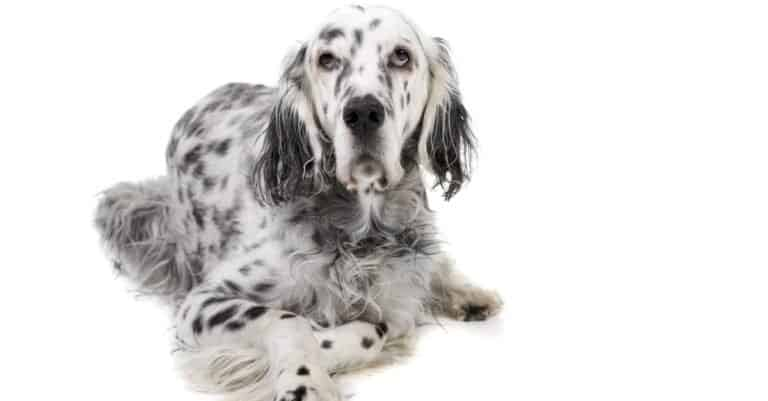 English Setter isolated on a white background.