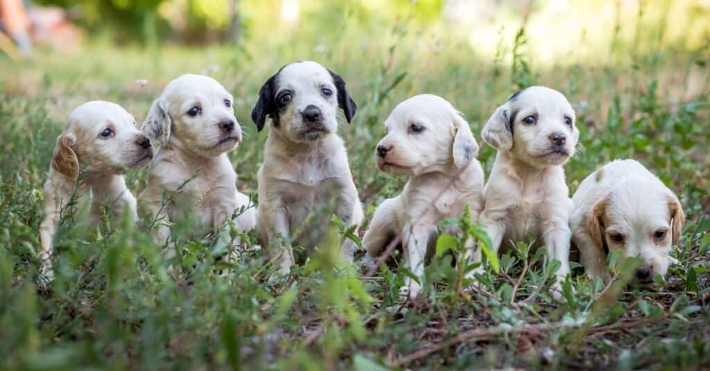 English Setter Puppies playing in the grass.