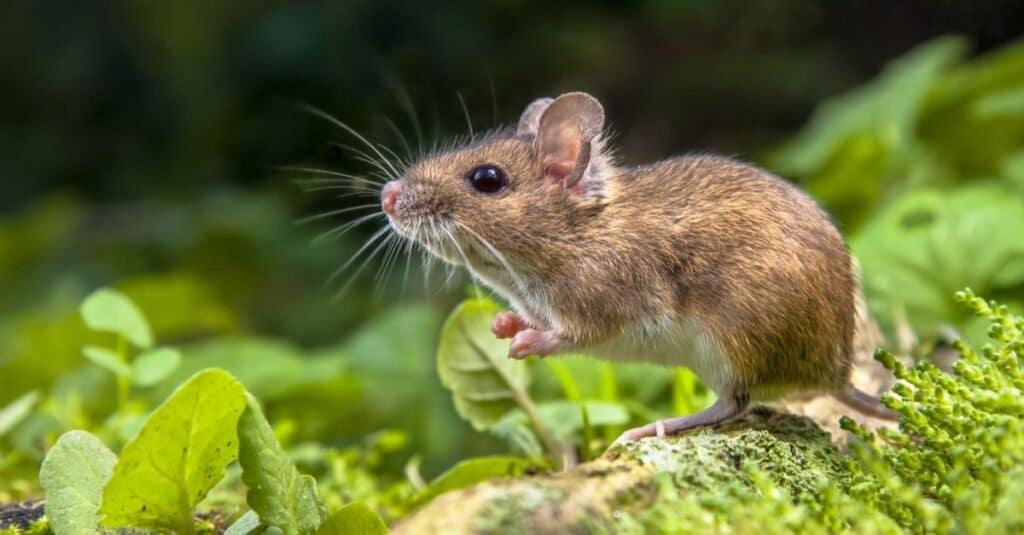 Fear of Animals: Musophobia