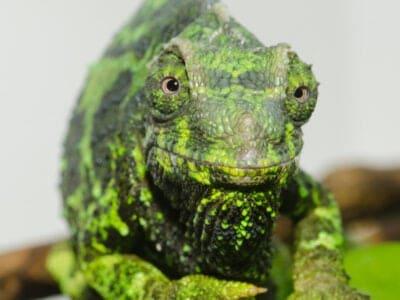 A Jackson's Chameleon