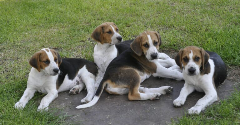 Four English Foxhound Puppies
