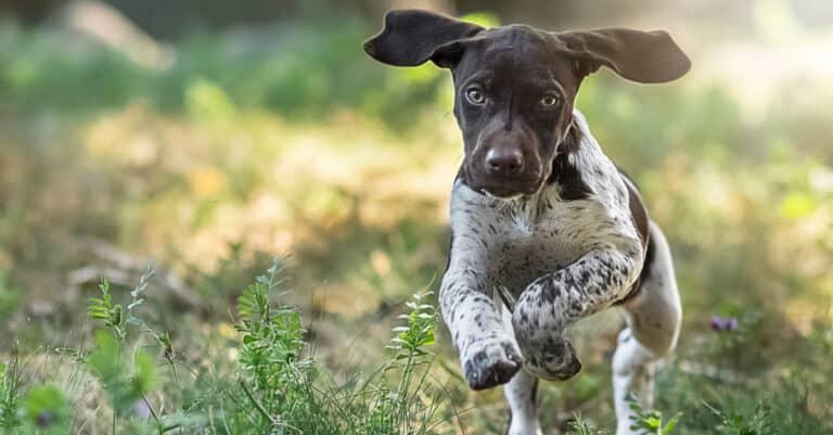 German Shorthaired Pointer Puppy Running