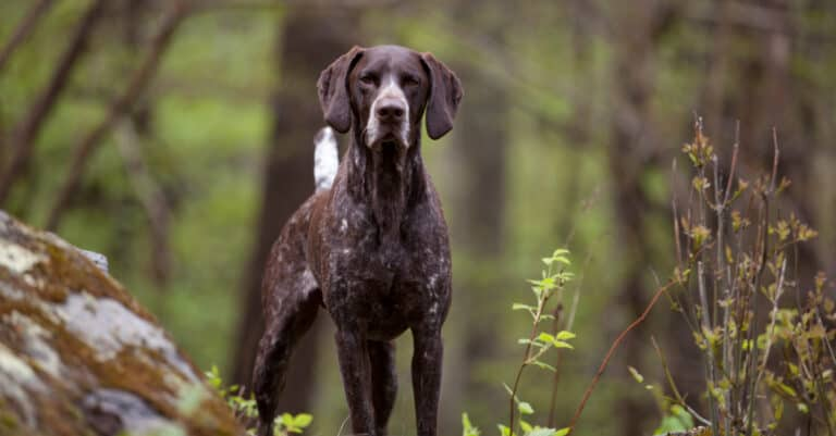 German Shorthaired Pointer in the Woods