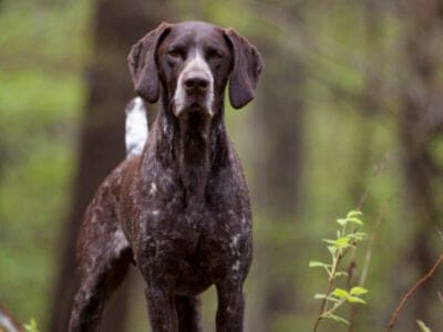 A German Shorthaired Pointer