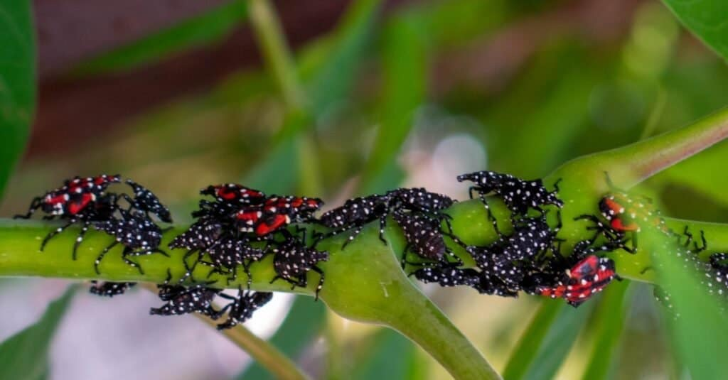 Get Rid of Spotted Lanternflies