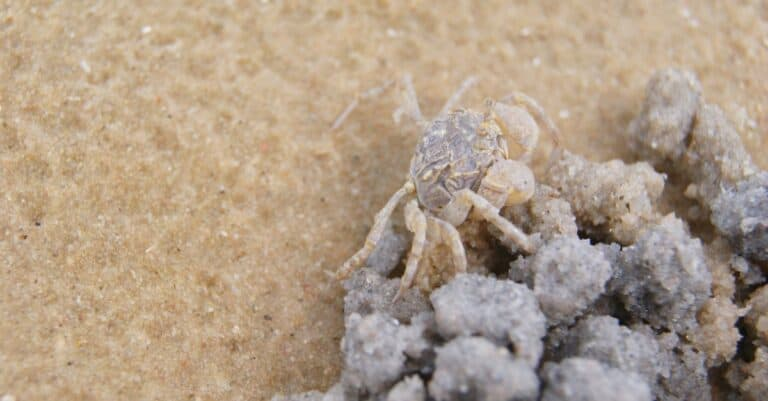 Baby ghost crab is molding sand in round shape and digging hole to build its house at the beach.