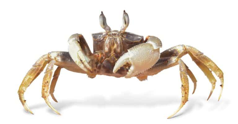 Ocypode ceratophthalmus, Ghost crab isolated on white background.
