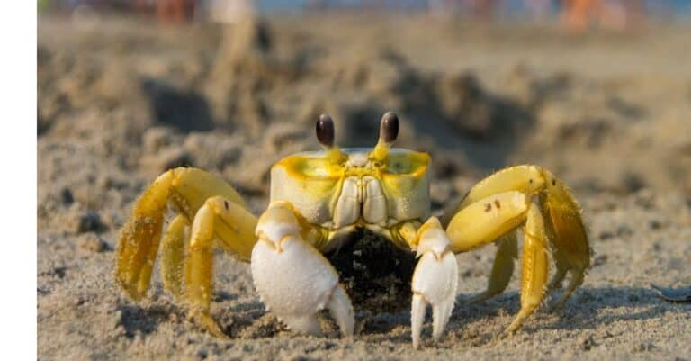 A low angle close up of a ghost crab on a beach in the foreground.
