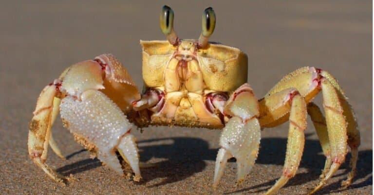 Alert ghost crab (Ocypode ryderi) on the beach, South Africa