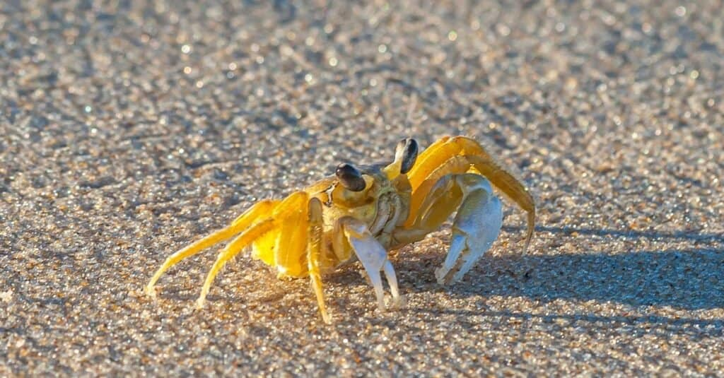 Close up of yellow ghost crab in Brazil during the day in the sunshine.