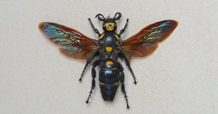 Largest Wasps - Giant Scoliid Wasp