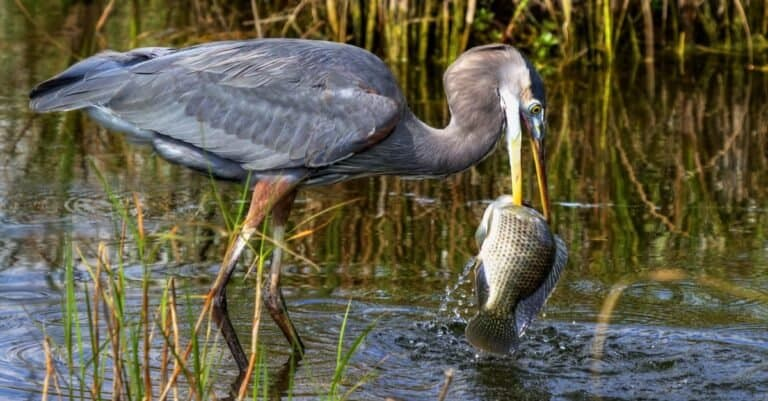 Great Blue Heron catching a huge fish.