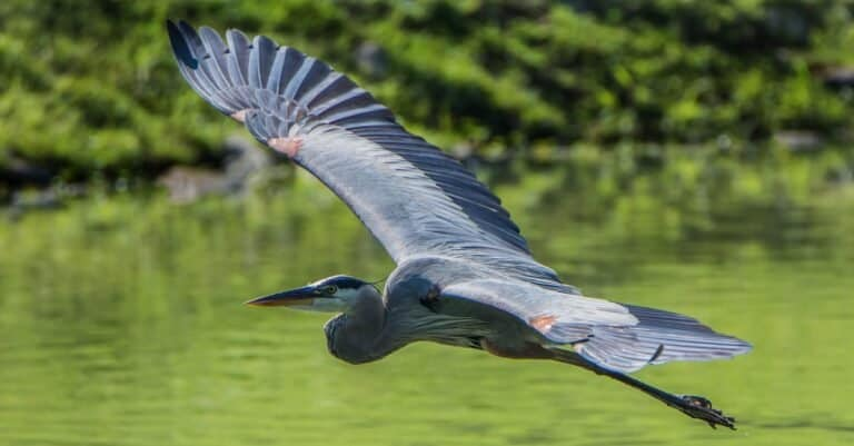 Great Blue Heron flying over water.