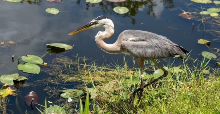 Great Blue Heron fishing in Florida Everglades.