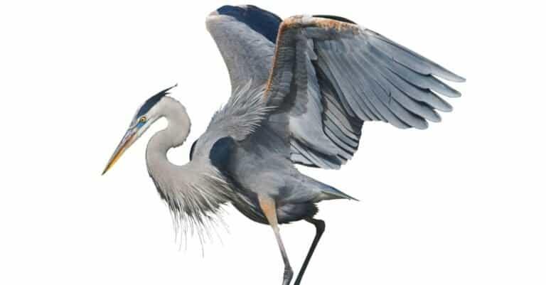 Great Blue Heron, isolated on white background.