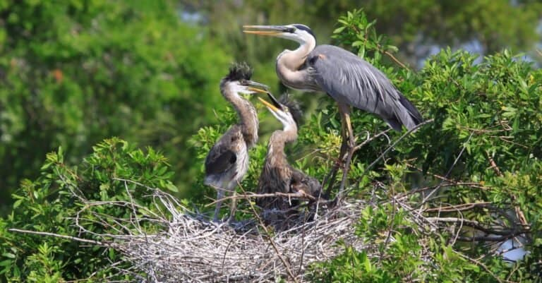 Great Blue Heron and 2 baby chicks in the nest.