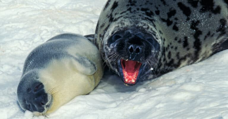 Hooded seal - mother and pup