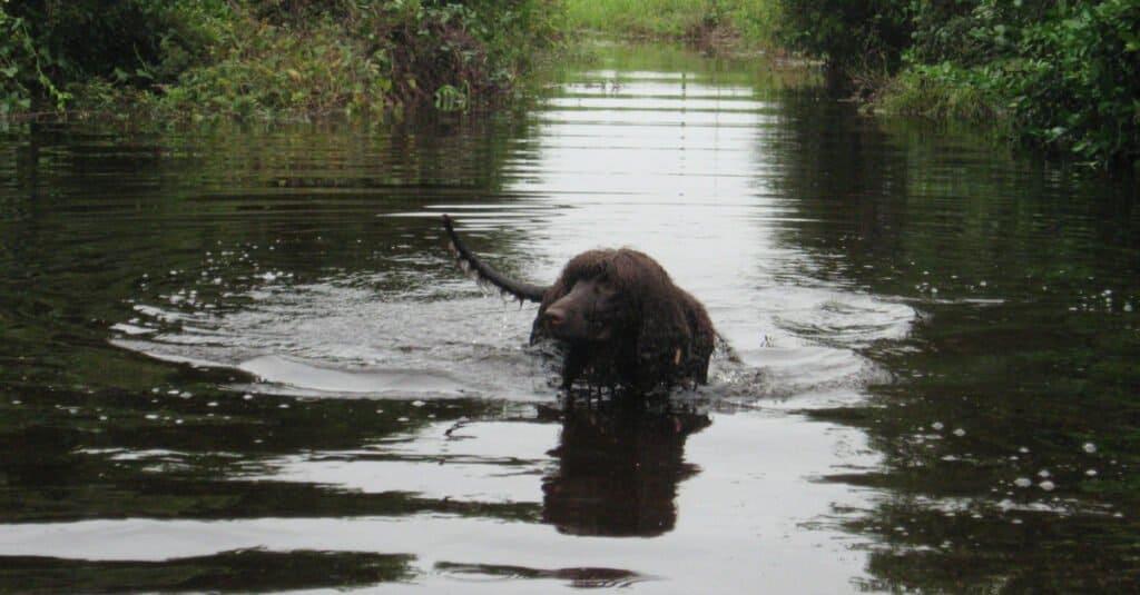 Irish water spaniel - swimming in the creek
