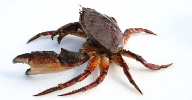 Isolated Red Rock Crab