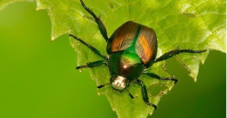 Japanese beetle on a green leaf.