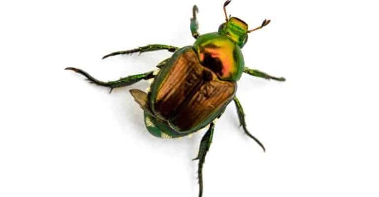 Japanese Beetle Popillia japonica isolated on a white background