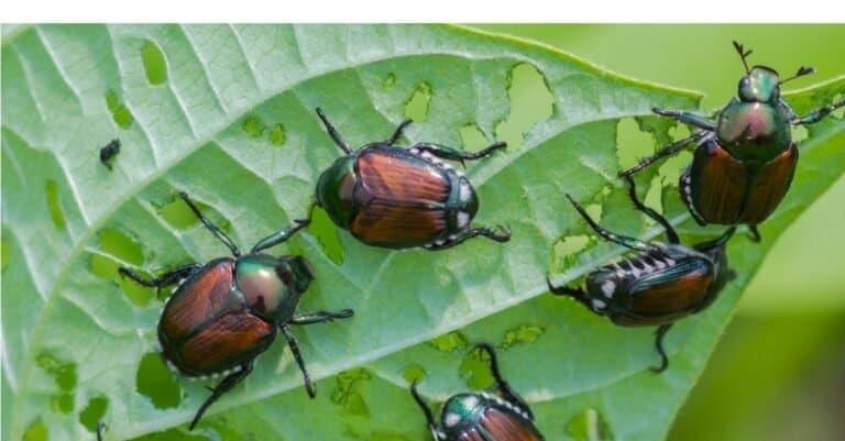 Invasive Japanese beetles eating string bean leaves in a garden.