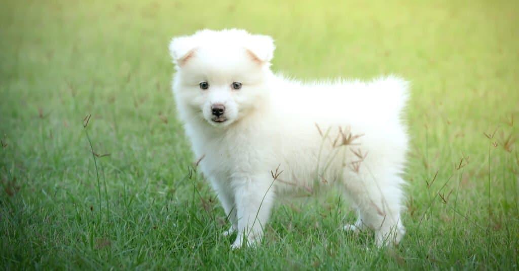 Japanese spitz- puppy