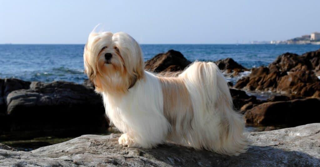 Lhasa Apso dog playing at the sea.