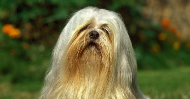 Lhasa Apso dog sitting on a lawn.