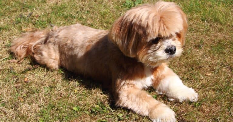Lhasa Apso lying down on the grass in a garden.