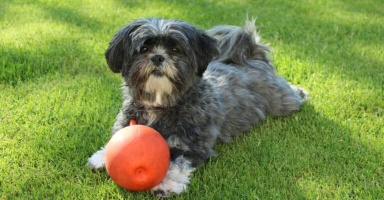 Lhasa Apso playing with a ball in the garden.
