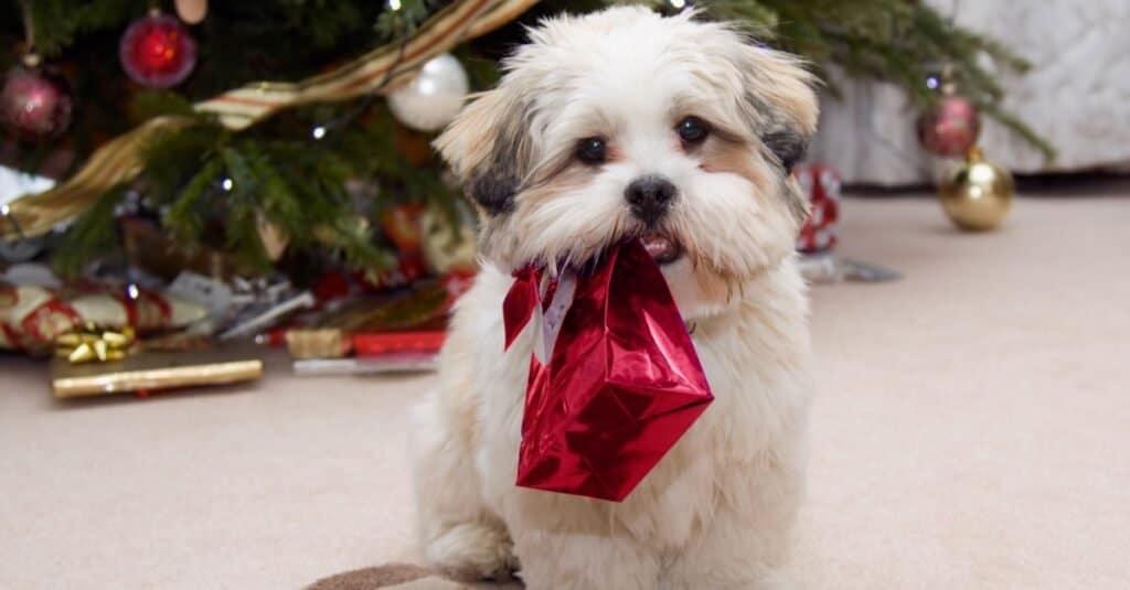 Cute Lhasa Apso puppy at Christmas.