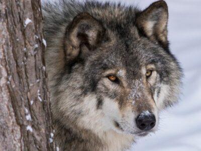 A Mackenzie Wolf