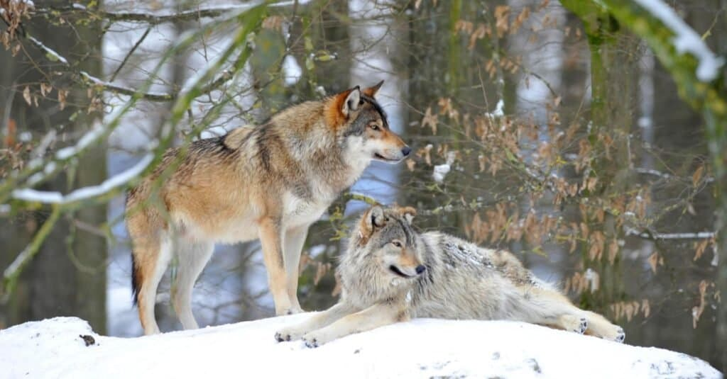 Mackenzie Valley Wolf, two wolves in the snow.