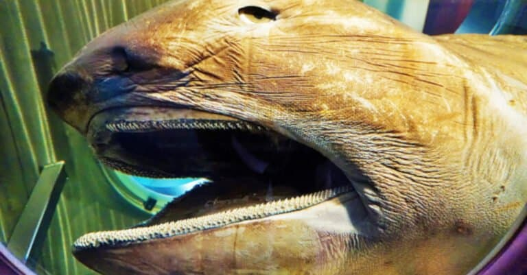 Megamouth shark in WA Maritime Museum.