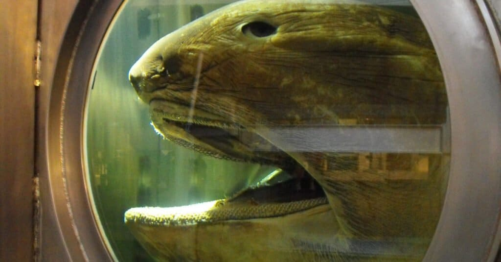 The head of a Megamouth shark. This specimen is preserved in a tank at the Western Australian Maritime Musem.