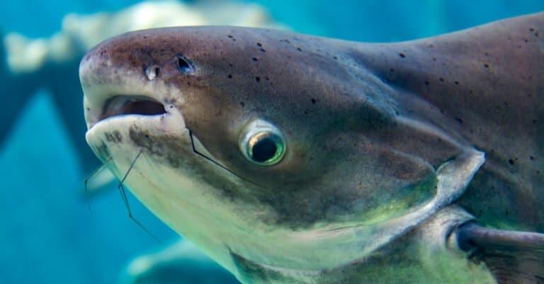 Mekong Giant Catfish Close-Up