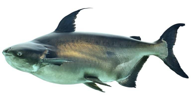 Mekong Giant Catfish- Isolated