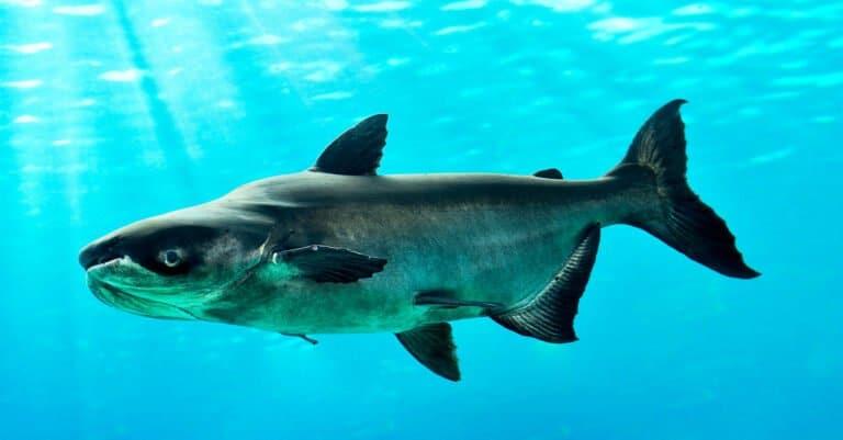 Mekong Giant Catfish Swimming