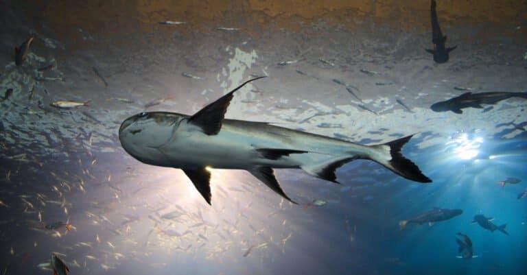Mekong Giant Catfish - Underwater View