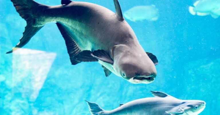 Mekong Giant Catfish in Blue Water