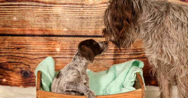 Mother Wirehaired Pointing Griffon with Puppy