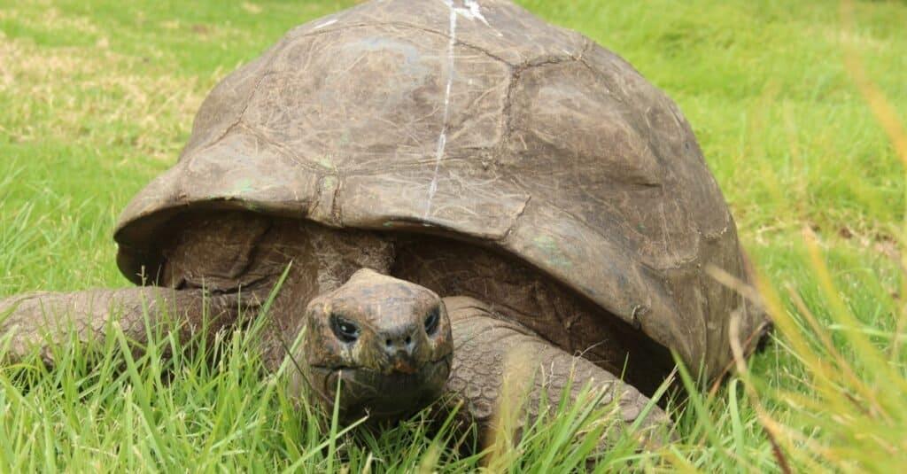 Oldest Turtle Jonathan