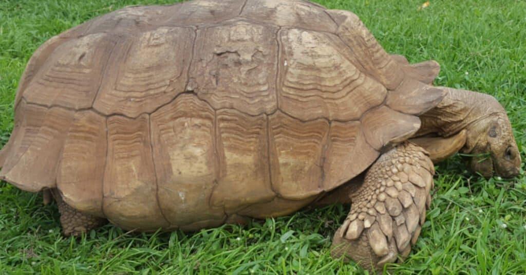 Oldest turtle Alagba